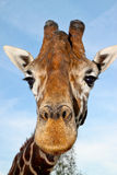 Close up do retrato do Giraffe Fotografia de Stock