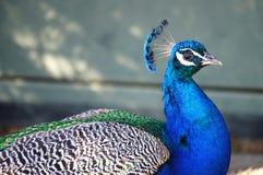 Close up do retrato do pavão foto de stock
