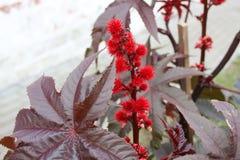 Close-up do Ricinus communis a semente de rícino ou a rodízio-óleo-planta com folhas arroxeado Imagens de Stock Royalty Free