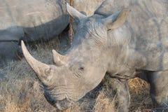 Close up do rinoceronte Fotos de Stock