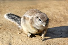 Close up do roedor selvagem bonito que senta-se na grão Imagens de Stock