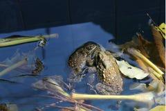 Close up do sapo que acopla-se na lagoa, estação de acoplamento, anfíbio imagem de stock