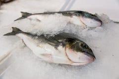 Close-up do sargo recentemente travado da Porca-cabeça ou do Sparus Aurata no gelo alinhado para a venda no mercado de peixes gre imagem de stock