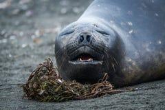 Close-up do selo de elefante que boceja na praia Imagens de Stock