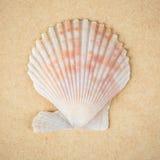 Close up do shell de vieira Imagem de Stock Royalty Free