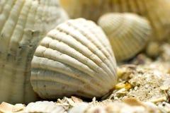 Close up do shell do mar branco contra Fotos de Stock Royalty Free