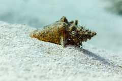 Close-up do shell pequeno do búzio coberto com a areia no recife Foto de Stock Royalty Free