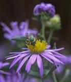 Close up do sido na flor roxa Fotos de Stock Royalty Free