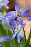 Close-up do squill (sibirica do scilla) Imagem de Stock Royalty Free
