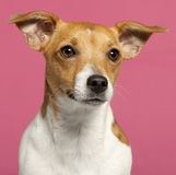 Close-up do terrier de Jack Russell, 10 meses velho Fotografia de Stock