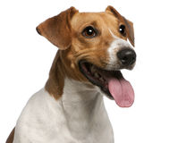 Close-up do terrier de Jack Russell, 12 meses velho Imagem de Stock Royalty Free