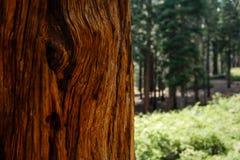 Close-up do teste padrão da casca do tronco de árvore da sequoia vermelha da sequoia gigante Imagem de Stock Royalty Free