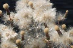 Close-up do Thistledown no ar livre Foto de Stock