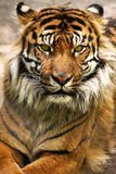 Close-Up do tigre Imagem de Stock