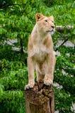 Close-up do tigre Imagem de Stock
