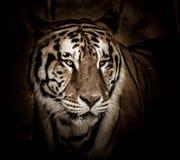 Close-up do tigre de Bengal Foto de Stock Royalty Free