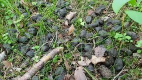 Close-up do tombadilho redondo de um animal nas madeiras Vida de animais selvagens - javali ou cervos na floresta no verão filme