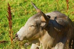 Close up do touro de Nguni do africano imagem de stock royalty free
