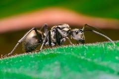 Close-up do trabalhador masculino Weaver Ant dourado Fotografia de Stock