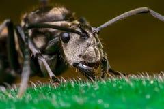 Close-up do trabalhador masculino Weaver Ant dourado Imagens de Stock Royalty Free