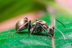 Close-up do trabalhador masculino Weaver Ant dourado Imagem de Stock Royalty Free