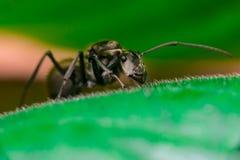 Close-up do trabalhador masculino Weaver Ant dourado Imagens de Stock