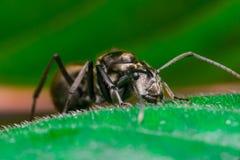 Close-up do trabalhador masculino Weaver Ant dourado Imagem de Stock