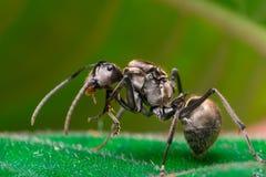Close-up do trabalhador masculino Weaver Ant dourado Fotografia de Stock Royalty Free