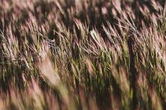 Close-up do trigo selvagem que cresce no campo com destaques dourados no por do sol Fundo da natureza fotos de stock
