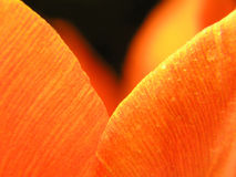 Close-up do tulip vermelho fotos de stock