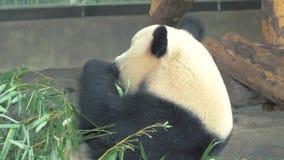 Close-up do urso de panda gigante que come o bambu no jardim zoológico no dia quente video estoque