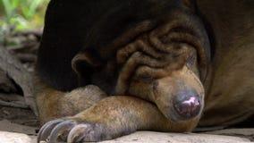 Close-up do urso de Sun que dorme na floresta entre rochas e árvores no jardim zoológico video estoque