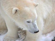 Close-up do urso polar fotografia de stock royalty free