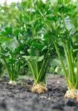 Close-up do vegetal de raiz da plantação do aipo no vegetal Fotografia de Stock