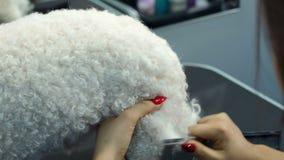 Close up do veterinário fêmea que penteia um cão macio branco em uma clínica veterinária video estoque