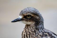 Close up do waterbird de Grey Australian imagens de stock royalty free