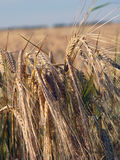 Close-up do Wheatfield Imagens de Stock Royalty Free