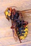 Close up do zangão Foto de Stock Royalty Free