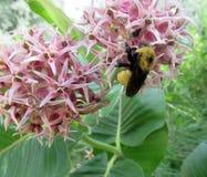 Close up do zangão na flor Fotos de Stock Royalty Free
