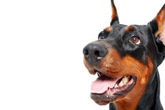 Close up of doberman pinscher with opened mouth Royalty Free Stock Photography