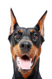 Close up of doberman pinscher with opened mouth Stock Photography