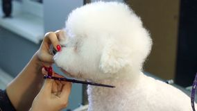 Close-up doctor veterinary clinic cuts scissors a dog Bichon Frise. A professional veterinarian cuts a dog in the clinic, the doctor makes a fashionable stock footage