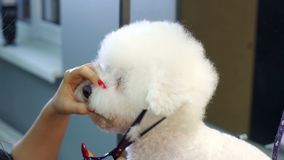 Close-up doctor veterinary clinic cuts scissors a dog Bichon Frise. A professional veterinarian cuts a dog in the clinic, the doctor makes a fashionable stock video footage