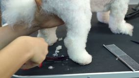 Close-up doctor veterinary clinic cuts scissors a dog Bichon Frise. A professional veterinarian cuts a dog in the clinic, the doctor makes a fashionable stock video