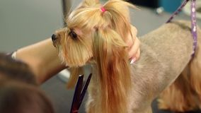 Close-up doctor veterinary clinic cuts scissors Yorkshire Terrier. Close-up of professional groomer combing little Yorkshire Terrier. Little yorkshire terrier stock video footage