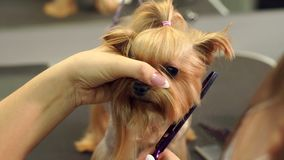 Close-up doctor veterinary clinic cuts scissors Yorkshire Terrier. Close-up of professional groomer combing little Yorkshire Terrier. Little yorkshire terrier stock video