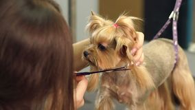 Close-up doctor veterinary clinic cuts scissors Yorkshire Terrier. A professional veterinarian cuts a dog in the clinic, the doctor makes a Yorkshire Terrier a stock video footage