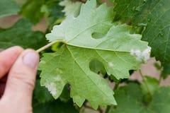 Close up doente da folha da uva imagem de stock