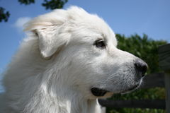 Close-up of a dog. Royalty Free Stock Images