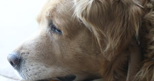 Close up of the Dog.  stock footage